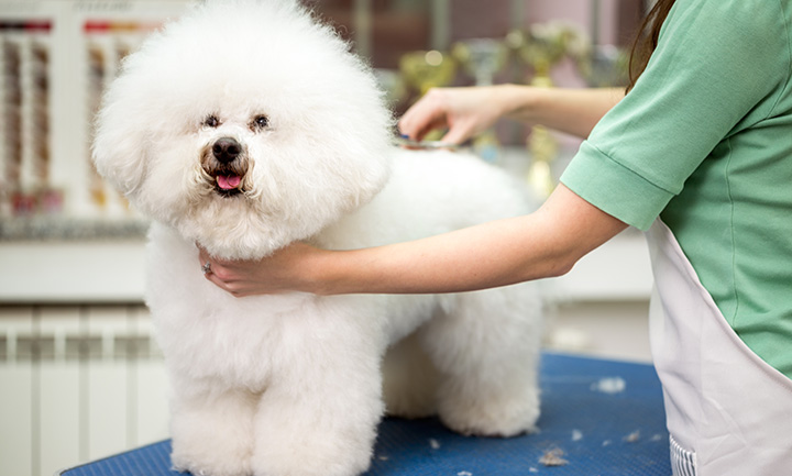 How to pull off the teddy bear pomeranian grooming technique solutioingenieria Image collections