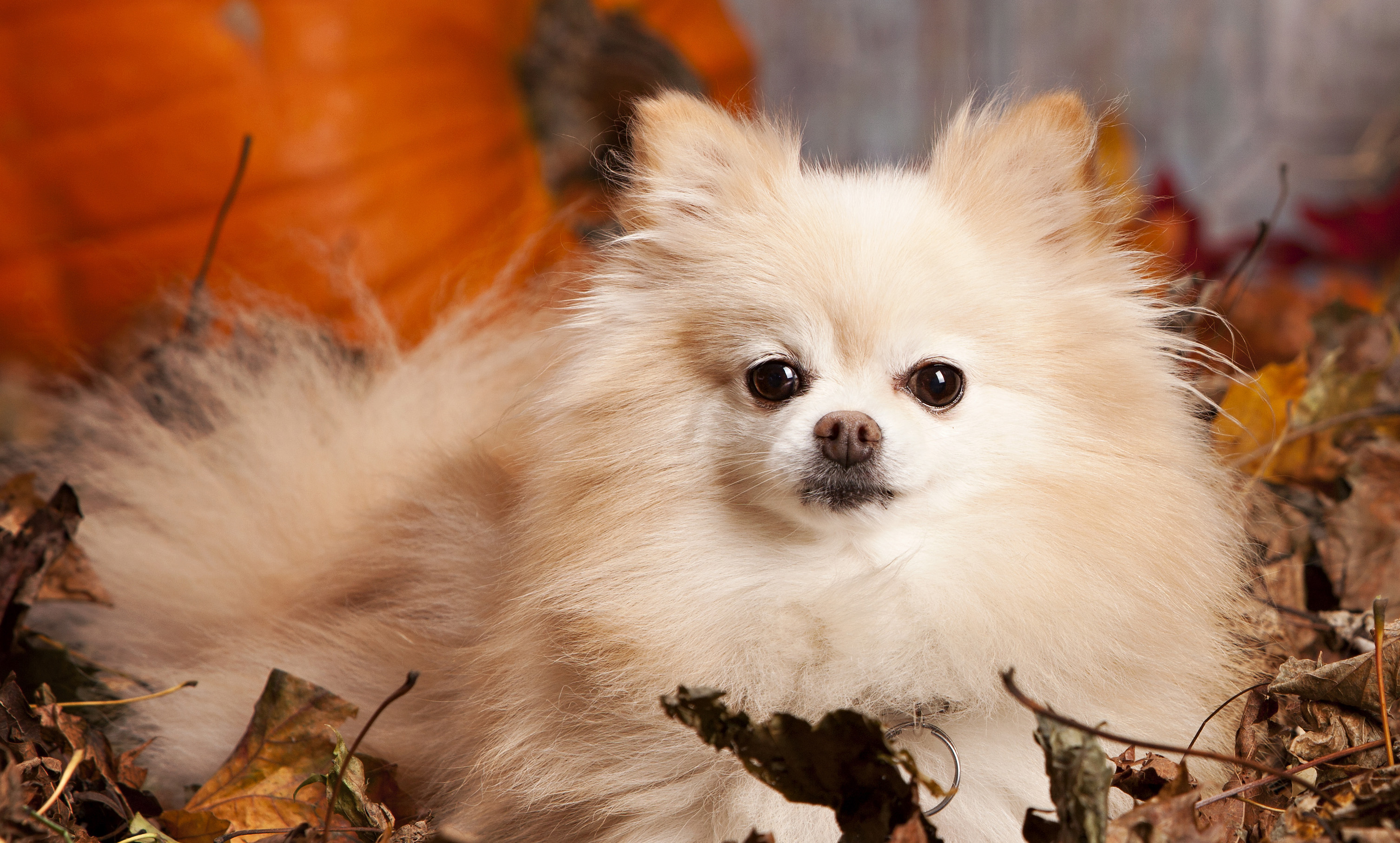 Four Pomeranian Haircuts For Dog Lovers Splash And Dash For Dogs